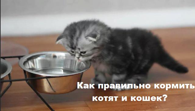 Как правильно кормить котят и кошек?