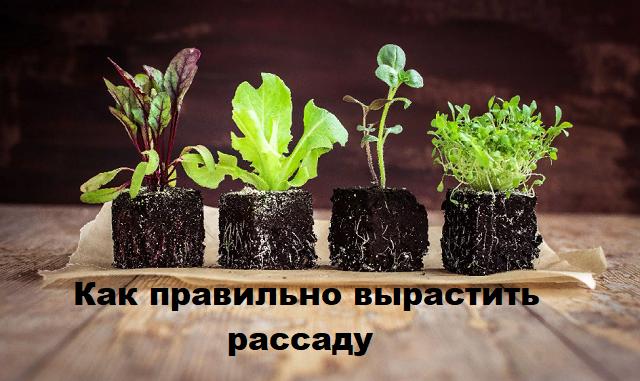 Как правильно вырастить рассаду.